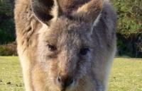 kanguru2